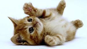 อยากเลี้ยงแมว เตรียมตัวอย่างไรบ้าง